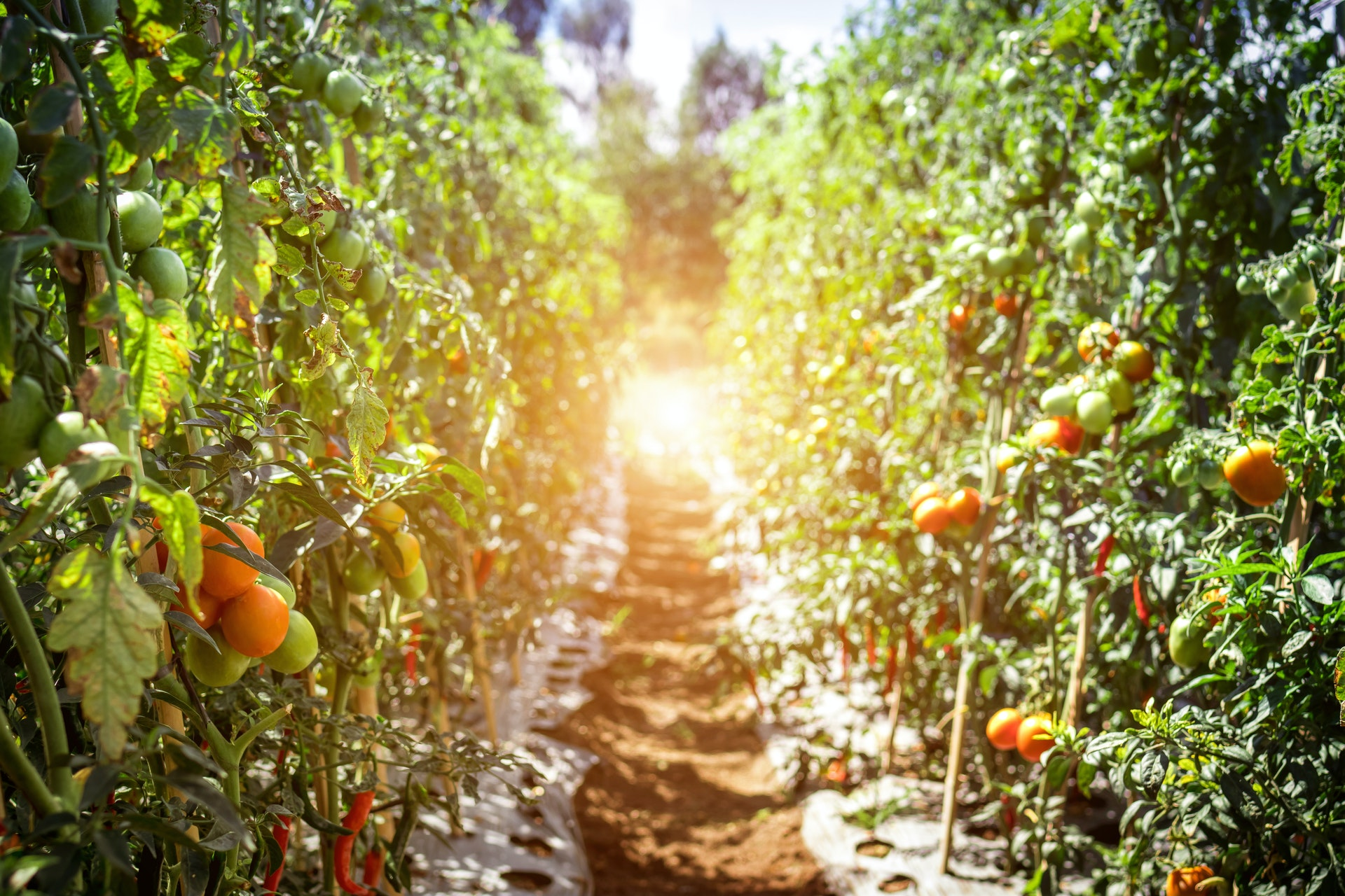 Growing Tomatoes from Harvested Seeds