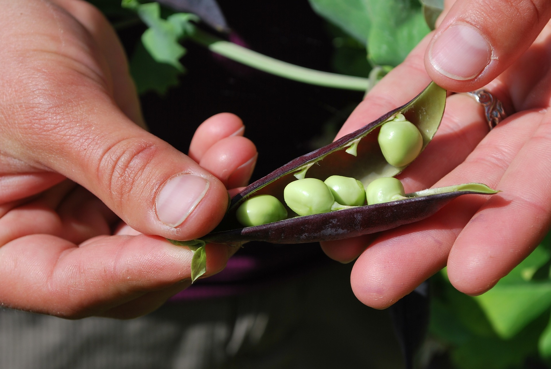 Harvesting Seeds from Peas